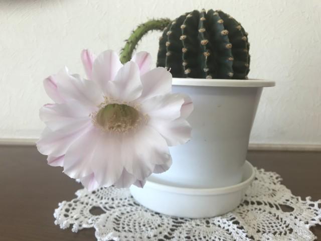 ケアハウス『サボテンの花が咲きました!』