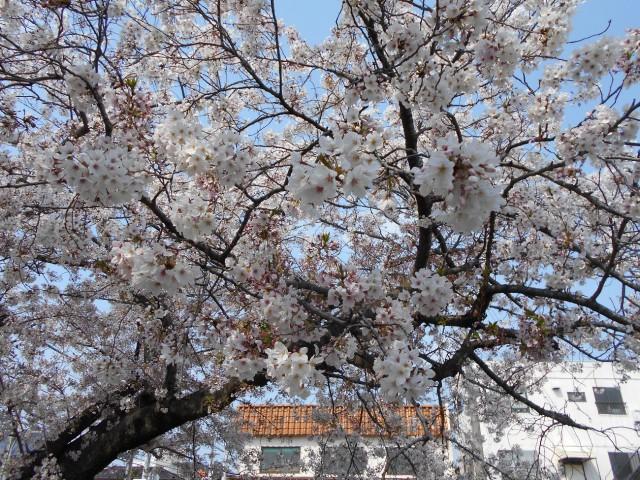 駅前英水苑『4月 お花見』
